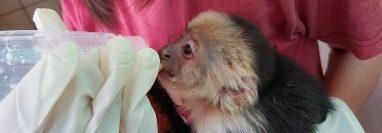 Diez de los 13 monos capuchinos que fueron rescatados por la Policía en Sacatepéquez se recuperan en el centro de conservación de vida silvestre Antigua Exitic. (Foto Prensa Libre: Cortesía)