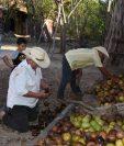 El fruto del árbol de morro es secado durante 20 días para luego aprovechar su pulpa como un complemento en la alimentación del ganado, en El Maguey, Zacapa. (Foto Prensa Libre: Wilder López)