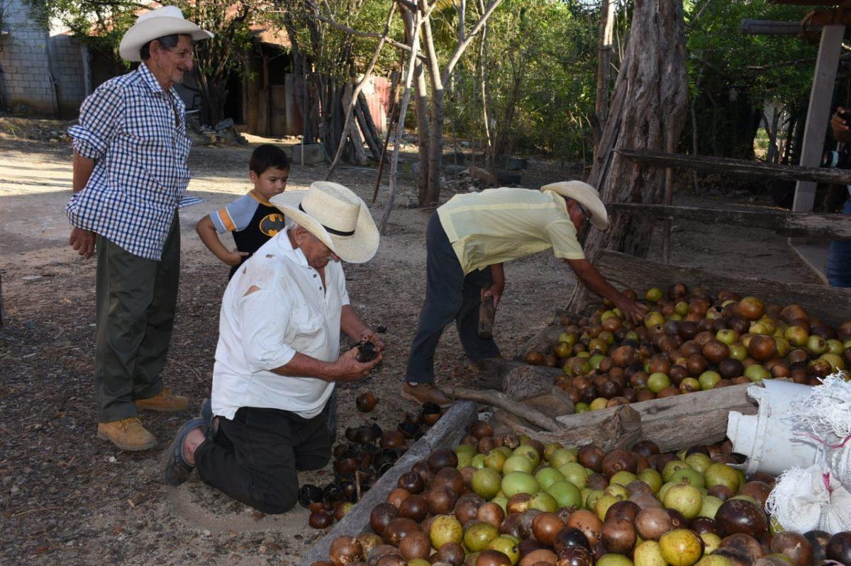 Ante sequía en pastizales, vecinos de El Maguey aprovechan el morro para alimentar a su ganado