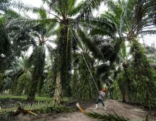 Para saber si las plantaciones están cumpliendo con la norma de Cero Deforestación, las empresas socias de Grepalma contratarán una empresa para hacer un monitoreo satelital. (Foto Prensa Libre: Hemeroteca PL)     Fotograf'a  Esbin Garcia  05-12-2019