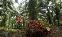 Reportaje en la compa–'a guatemalteca NaturAceites, la cual  se sum— a la celebraci—n al Medio Ambiente con varias actividades realizadas en comunidades en El Estor, Izabal sector donde se encuentra ubicada una de las plantaciones de palma africana de la empresa, esta empresa se dedica a la exportaci—n del aceite de esta planta . Fotografia Esbin Garcia