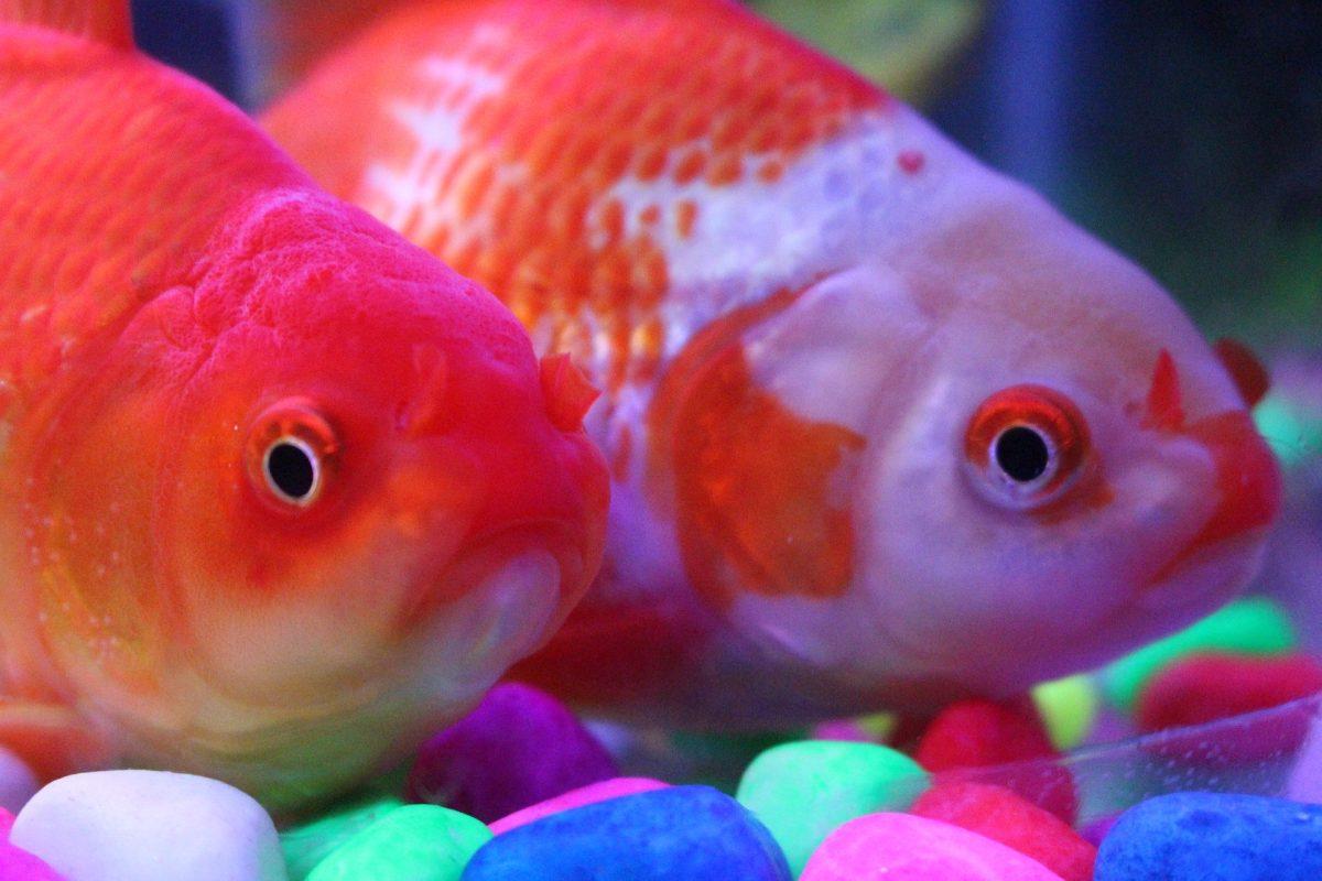 Lo que debe saber antes de adoptar peces como mascotas