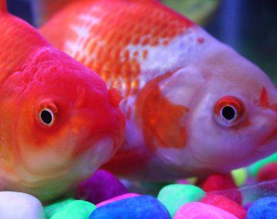 Los peces dorados son de agua fría y suelen ser considerados de la suerte. (Foto Prensa Libre: Servicios).