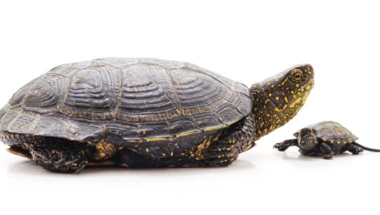 Antes de adoptar una tortuga como mascota, asegúrese de poder satisfacer todas sus necesidades y ofrecerle una buena calidad de vida. (Foto Prensa Libre: Servicios).