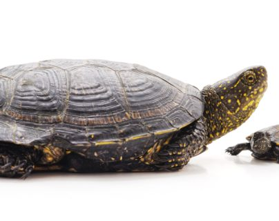 La tortuga como mascota: cuidados y recomendaciones