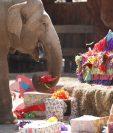 La elefanta Trompita disfruto de un pastel con sus ingredientes favoritos. (Foto Prensa Libre: Esbin García)