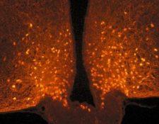 Los astrocitos cubren las neuronas POMC antes de una comida, pero se retiran después de comer, produciendo así una sensación de saciedad. DANAÉ NUZZACI / CNRS / CSGA