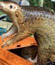 Los pangolines son los mamíferos que con mayor frecuencia se trafican ilegalmente, usados como alimento y medicina tradicional.