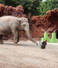 Trompita llegó al Zoológico La Aurora en el 2008 luego de haber sido rescatada de un circo. (Foto Prensa Libre: Cortesía Zoológico La Aurora)