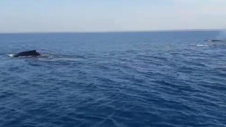 Ballenas en la playa de Chiquimulilla, Santa Rosa. (Captura de pantalla de video del Conap).