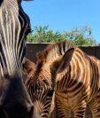 Cebra junto a su cría en el Parque Zoológico la Aurora. (Foto Prensa Libre: Cortesía).