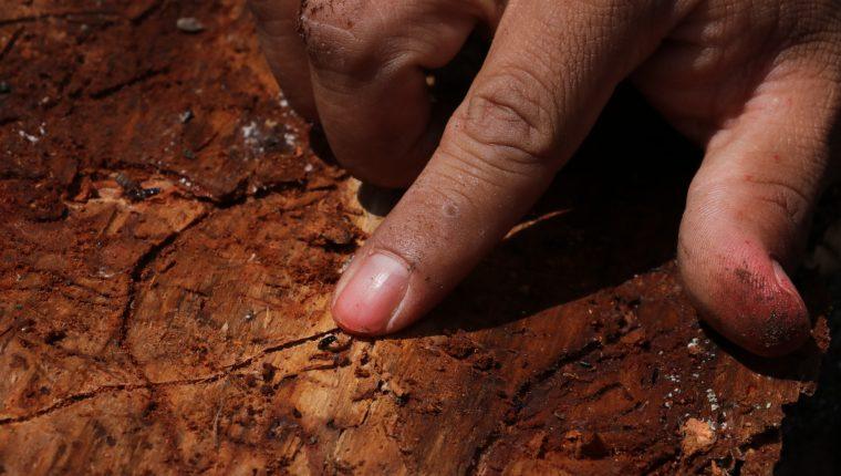 Aunque su ciclo de vida es de cuatro a seis semanas, el gorgojo del pino aprovecha la vulnerabilidad de los bosques afectados por incendios, sequías, talas ilegales y falta de manejo forestal para invadirlos. (Foto Prensa Libre: Víctor Chamalé)
