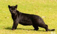 Debido al color de Ónix, es difícil apreciar las manchas características del jaguar. (Foto Prensa Libre: Cortesía Francisco Arriola)