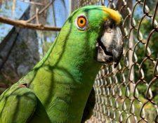 En el centro de rescate de Arcas, en Hawái, Monterrico, Santa Rosa, se logró la reproducción de loros nuca amarilla. (Foto Prensa Libre: Cortesía Arcas)