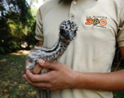 Varias crías de animales, llaman la atención del público desde las redes sociales, siendo los nuevos consentidos del Zoológico La Aurora. Fotografía Prensa Libre: Fernando Cabrera