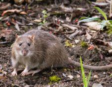 Según la Organización Panamericana de la Salud, los roedores son causantes del hantavirus. (Foto Prensa Libre: OPS)