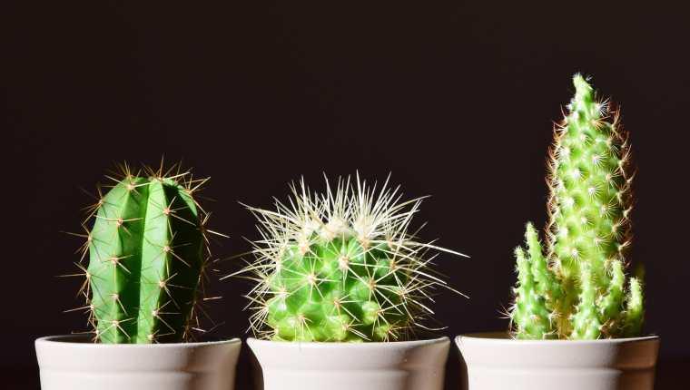 En Guatemala existen 52 especies de cactus.