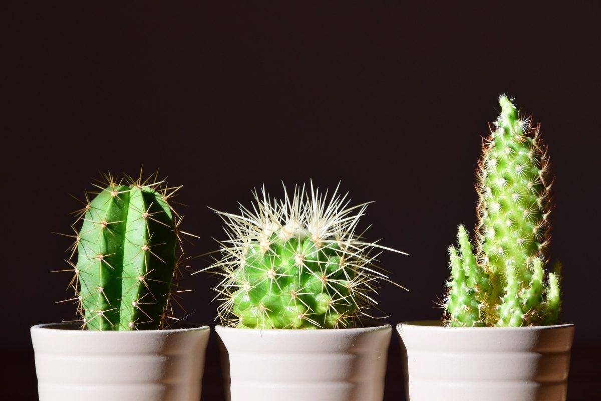 Consejos para el cuidado de los cactus