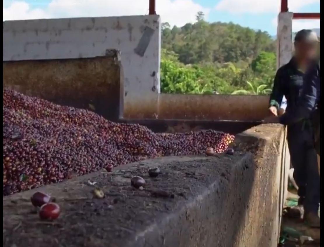 Televisora británica denuncia trabajo infantil en recorrido por cuatro fincas cafetaleras en Guatemala