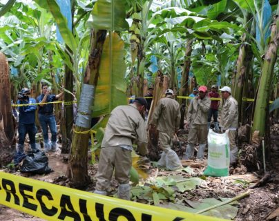 El Congreso aprobó la Ley de protección para el cultivo de plátano y banano en Guatemala, que tiene como objetivo adoptar las medidas de prevención necesarias con los cultivos por el hongo R4T. (Foto Prensa Libre: Hemeroteca)