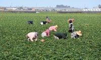 ACOMPAÑA CRÓNICA: EEUU CORONAVIRUS - USA800. OXNARD (CA, EEUU), 08/04/2020.- Fotografía fechada el 28 de marzo donde aparecen unas personas mientras trabajan en un cultivo de fresas, en Oxnard, California (EE.UU). Su trabajo permite llevar alimento a millones de mesas en EE.UU., pero, pese a ser considerados indispensables, muchos trabajadores agrícolas, en su mayoría inmigrantes, salen sin guantes a faenar, y en muchas ocasiones sin disponer de agua limpia o jabón. EFE/ Iván Mejía