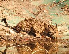 Un jaguar toma agua en una aguada artificial, en un sector del Biotopo Dos Lagunas y Mirador Río Azul, en Petén. (Foto Prensa Libre: Cortesía Francisco Asturias)