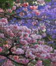 Los árboles se llenan de flores en la ciudad de Guatemala.