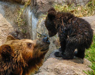 Los osos pardos Prohor y Polina, tuvieron un osezno que ha llenado de amor y ternura las instalaciones del Zoológico La Aurora. Fotografía Prensa Libre: Fernando Cabrera