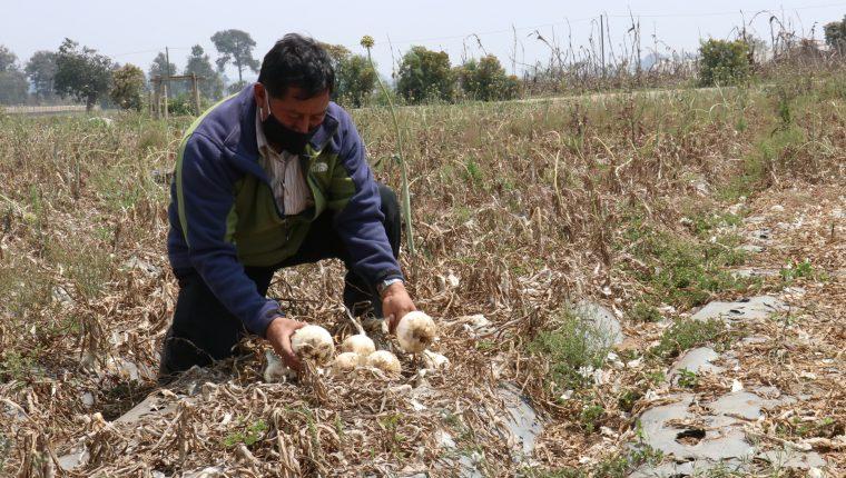 Algunos agricultores de Patzicía, Chimaltenango, dejan las cosechas en el campo porque no tienen dinero para pagar jornales. (Foto Prensa Libre: Víctor Chamalé)