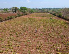 Agricultores de Caballo Blanco, Retalhuleu, están cosechando tabaco, pero temen que su producto no sea comprado por las tabacaleras. (Foto Prensa Libre: Rolando Miranda)
