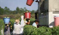 Miles de guatemaltecos trabajan en fincas agricultoras de EE. UU. Guatemala espera ampliar el número de visas para que la migración hacia ese país sea regular. (Foto Prensa Libre: Hemeroteca PL)
