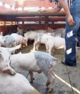Carne de cerdo procesada o ganado en pie pasa por pasos ciegos advierten empresarios. (Foto, Prensa Libre: Hemeroteca PL).