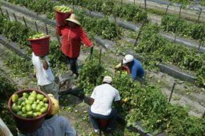 Estados Unidos reanuda visas H-2 de trabajo temporal para guatemaltecos