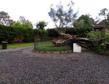 El árbol de esquisúchil sembrado por el Santo Hermano Pedro se derribó ayer debido a las fuertes lluvias. (Foto Prensa Libre: Cortesía)
