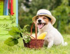 """""""Es posible alimentar a un perro con una dieta vegetariana, pero es mucho más fácil equivocarse que hacerlo bien"""", según la presidenta de la Asociación Británica de Veterinarios. Pero el caso de los gatos es mucho más complejo. GETTY IMAGES"""
