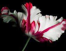 A principios de 1637, los bulbos de tulipán alcanzaban precios realmente extraordinarios. GETTY IMAGES