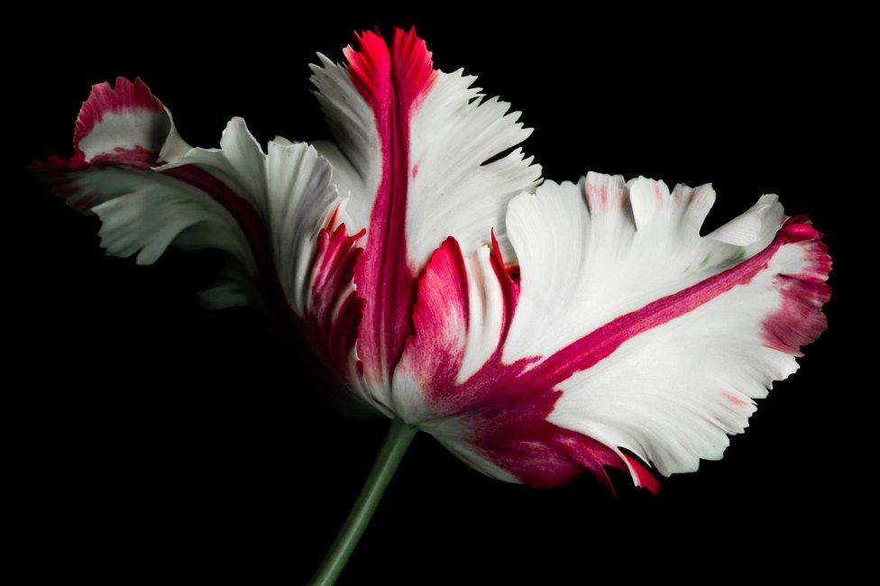 ¿Fue la crisis de los tulipanes realmente la primera burbuja financiera de la historia?