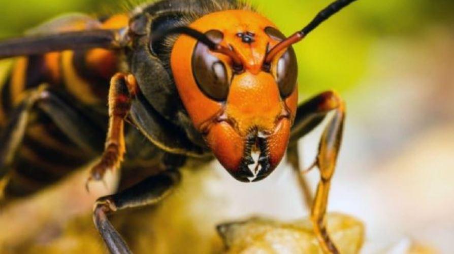 Alerta en EE. UU. por la llegada de un avispón gigante que podría ser letal para los humanos – Prensa Libre