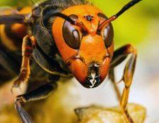 El avispón asesino es una amenaza para los humanos y las abejas. Imagen ilustrativa. (Foto Prensa Libre: Animapedia. Tomada de Trece.com).