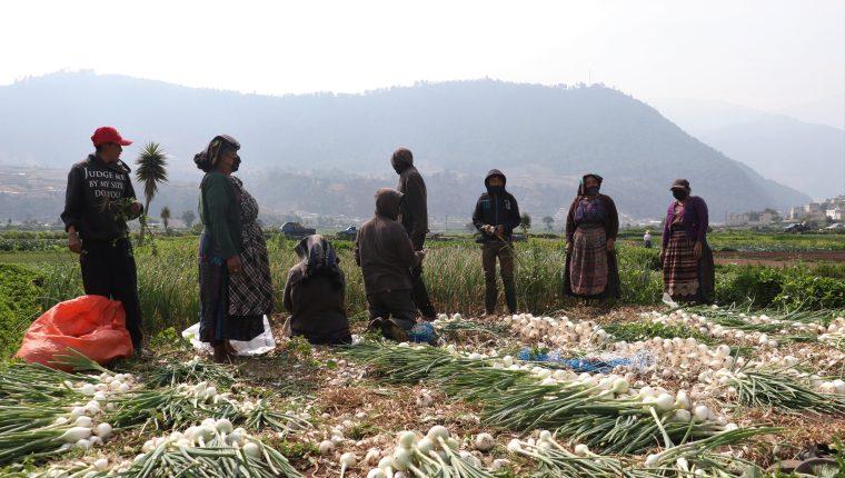 Los productores de verduras de Almolonga, Quetzaltenango que exportan hacia El Salvador informaron que conocerán las nuevas disposiciones para enviar sus productos a ese mercado con la apertura de la economía este martes. (Foto Prensa Libre: Hemeroteca)