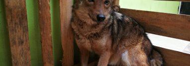Una hembra de coyote herida fue trasladada a la Unidad Técnica del Conap de Quiché. (Foto Prensa Libre: Cortesía Conap)