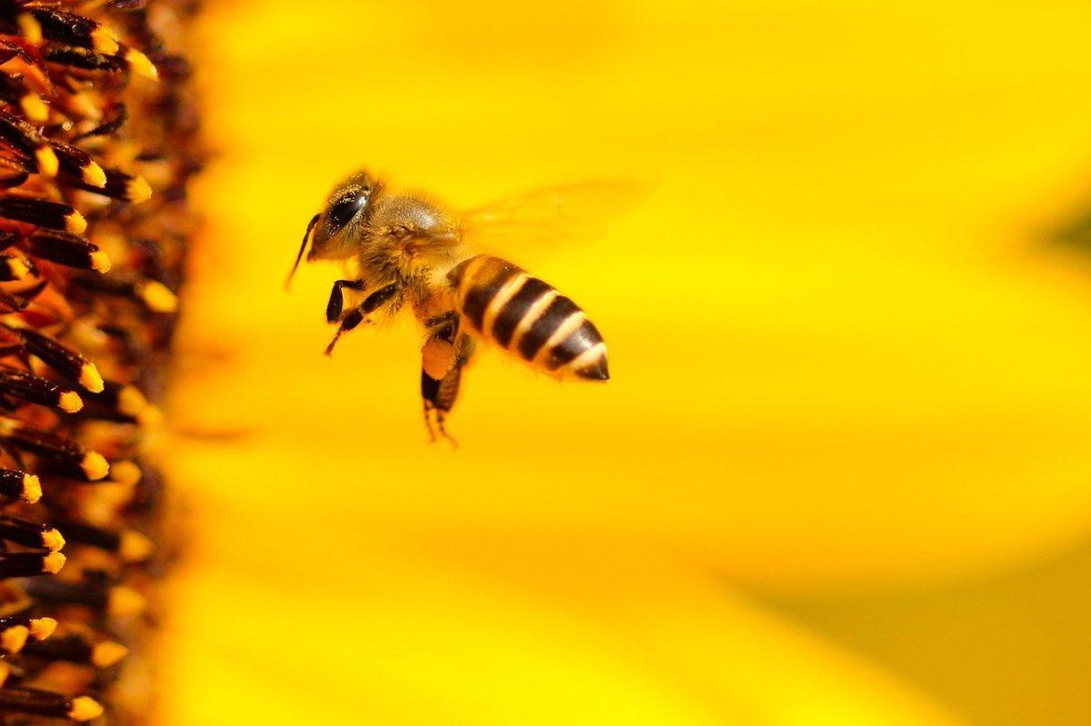 Día Mundial de las abejas: colabore en su protección desde el jardín