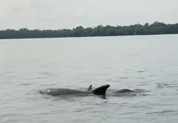 A qué se debe el reciente avistamiento de delfines en Río Dulce