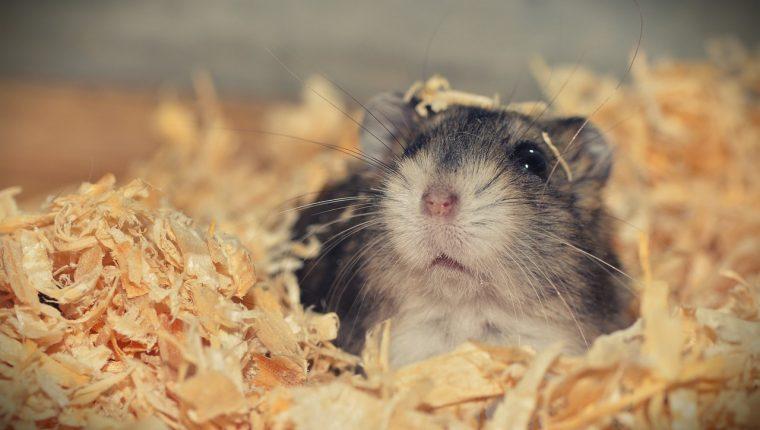 Los hámster necesitan pocos cuidados y poco espacio, por lo que son mascotas adecuadas para personas con tiempo libre limitado. (Foto Prensa Libre: Pixabay).