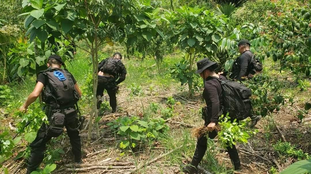Narcotráfico insiste en sembrar arbustos de coca en Izabal y Petén