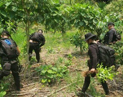 Los agentes de SGAIA erradicaron arbustos de coca en Izabal y Petén. Foto Prensa Libre: PNC