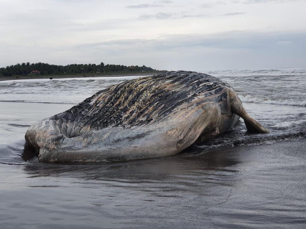 Pescadores de Tulate encuentran el cadáver de una ballena jorobada – Prensa Libre