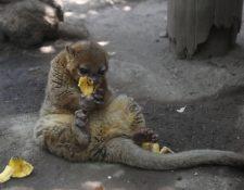 Los micoleones disfrutan comer bananos con miel durante el confinamiento, pero también extrañan a los visitantes. (Foto Prensa Libre: María Longo)