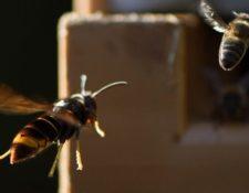 Los avispones asesinos son una amenaza para las abejas comunes. (Foto: AFP)