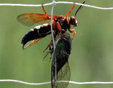 Las avispas asiáticas gigantes se alimentan principalmente de abejas.  Foto Prensa Libre: Pixabay